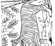 Coloriage Tigre dans la nature