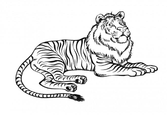 Coloriage tigre ou lion dessin gratuit imprimer - Dessin de tigre facile ...