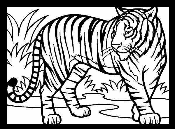 Coloriage et dessins gratuits Tigre prédateur à imprimer
