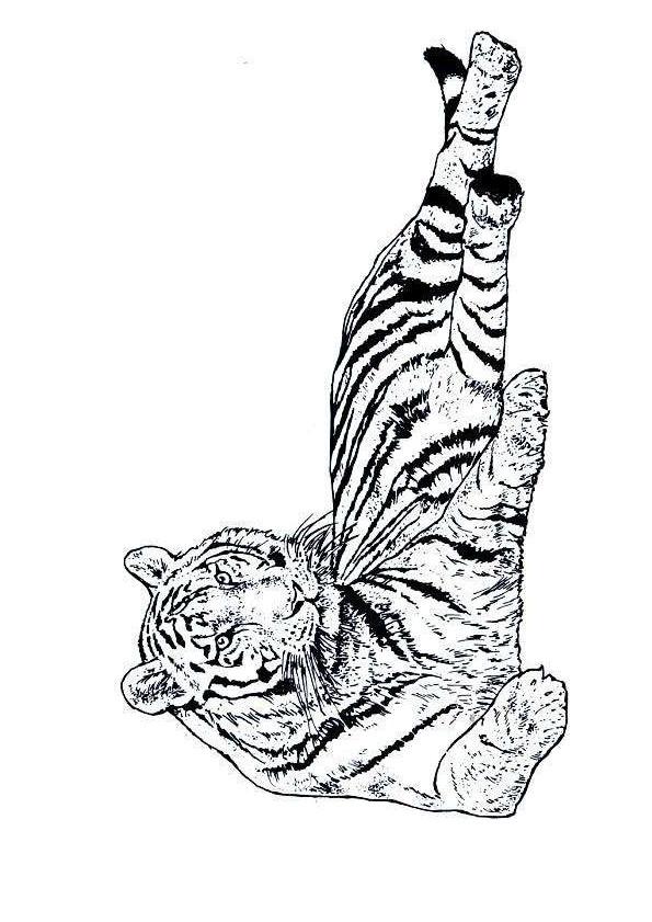 Coloriage et dessins gratuits Un beau Tigre à imprimer