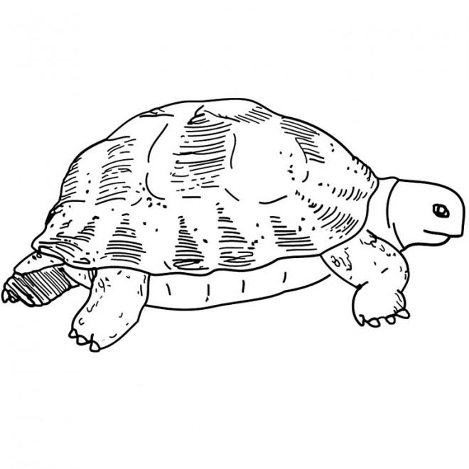 Coloriage et dessins gratuits Tortue de terre à imprimer