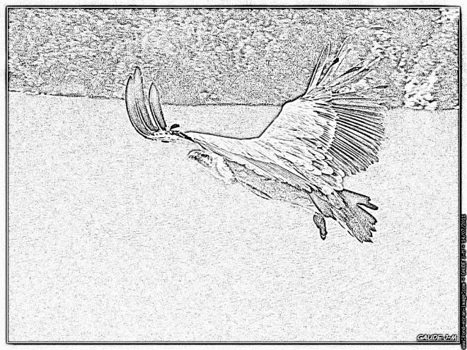 Coloriage et dessins gratuits Image d'un Vautour en noir et blanc à imprimer