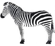 Coloriage zebre 63 dessin gratuit imprimer - Zebre a dessiner ...