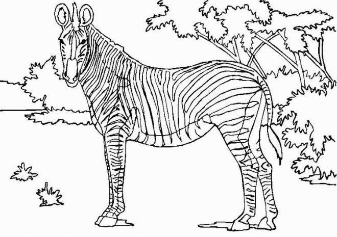 Coloriage Zebre Dans La Savane Dessin Gratuit A Imprimer