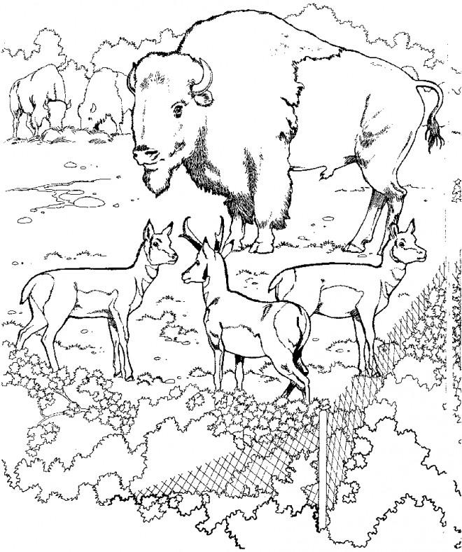 Coloriage et dessins gratuits Bisons dans le Zoo à imprimer