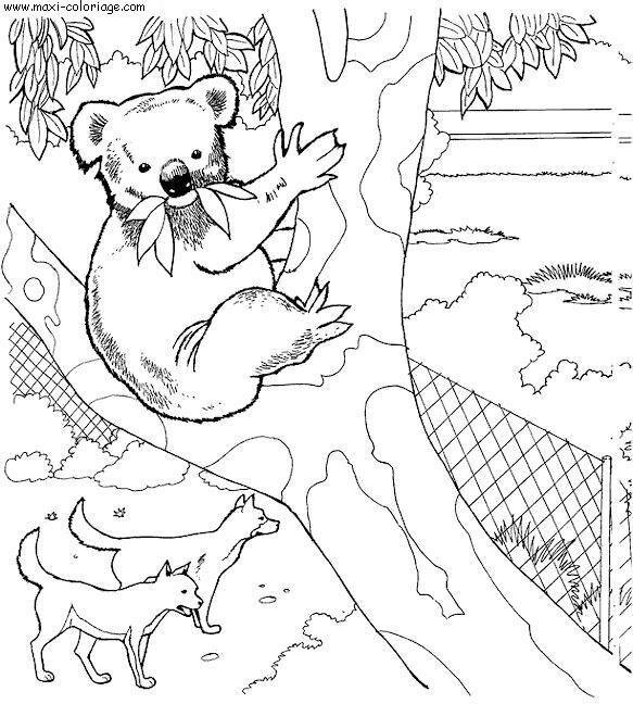 Coloriage et dessins gratuits Koala au Zoo à imprimer