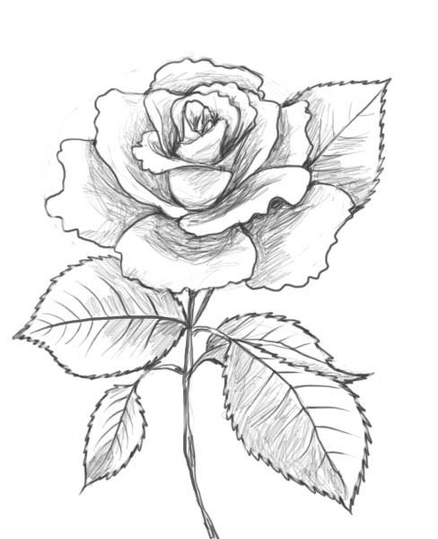 Coloriage Rose Au Crayon Dessin Gratuit A Imprimer
