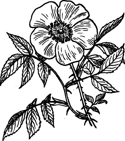 Coloriage et dessins gratuits Adulte Fleurs Rose à imprimer