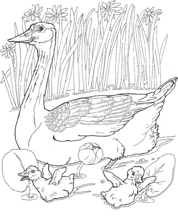 Coloriage et dessins gratuits Canard de Ferme dans l'eau à imprimer