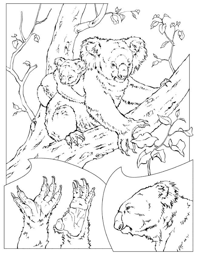 Coloriage et dessins gratuits koala et son petit en Ligne à imprimer