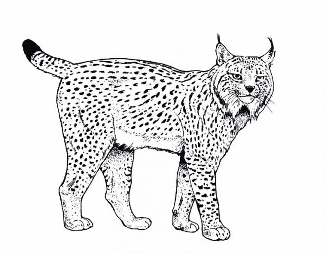 Coloriage animaux sauvages 8 dessin gratuit imprimer - Dessin animaux sauvages ...
