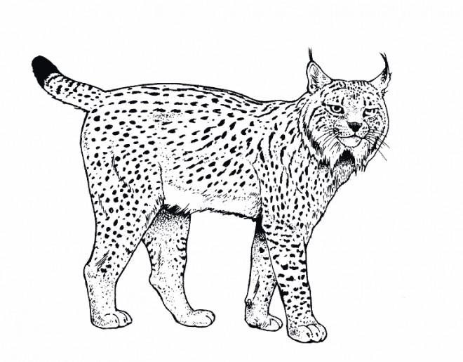 Coloriage f lins sauvages dessin gratuit imprimer - Coloriages animaux sauvages ...