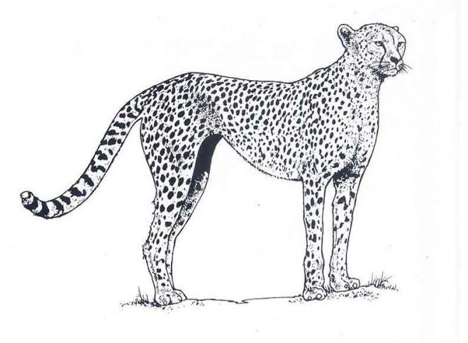 Coloriage et dessins gratuits Guépard couleur à imprimer