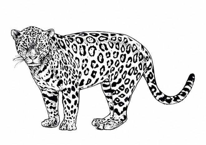 Coloriage gu pard r aliste dessin gratuit imprimer - Coloriages animaux sauvages ...