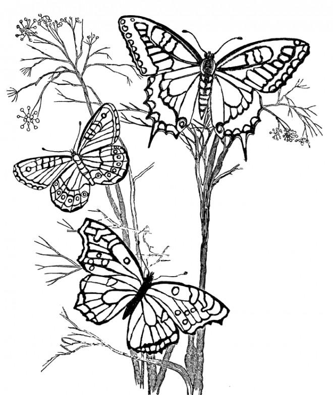 Coloriage et dessins gratuits Papillons en vol sur des Fleurs à imprimer