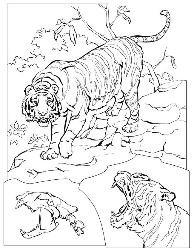 Coloriage et dessins gratuits Un Tigre réaliste à imprimer