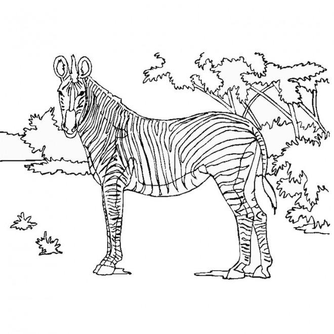 Coloriage Zebre Dans La Foret Dessin Gratuit A Imprimer