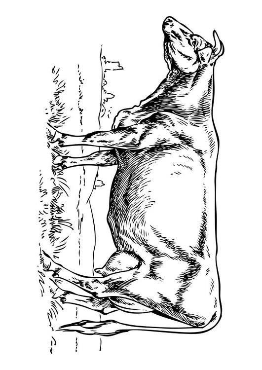 Coloriage et dessins gratuits Boeuf dans la prairie à imprimer