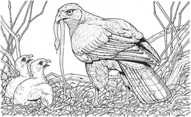 Coloriage Aigle et ses petits dessin gratuit imprimer