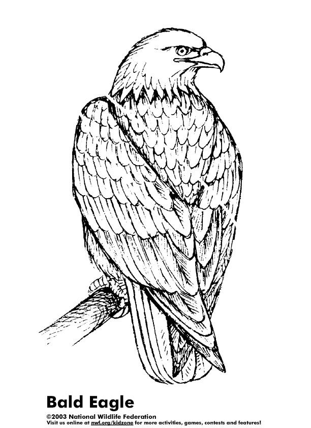 Coloriage et dessins gratuits Aigle qui  ferme ses aigles à imprimer