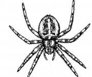 Coloriage Araignée réaliste