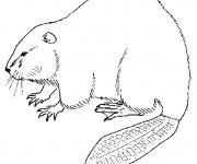 Coloriage et dessins gratuit Castor au crayon à imprimer