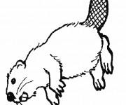 Coloriage et dessins gratuit Castor du Canada à imprimer