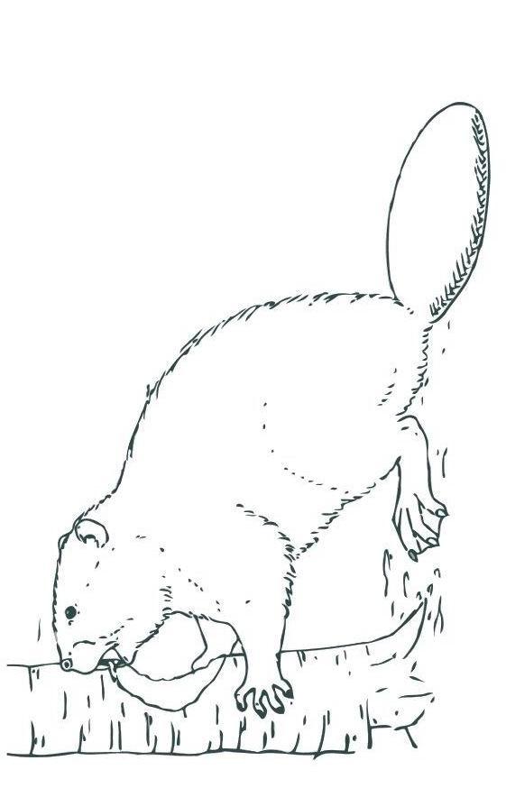 Coloriage et dessins gratuits Castor travaille Le Bois à imprimer