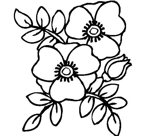 Coloriage et dessins gratuits Coquelicot à décorer à imprimer