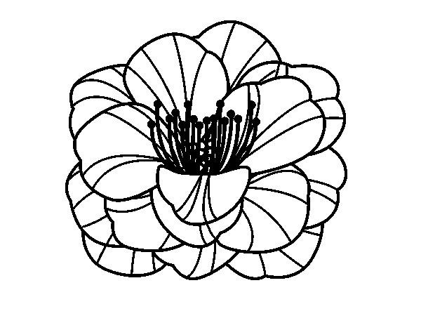 Coloriage et dessins gratuits Coquelicot en noir à imprimer
