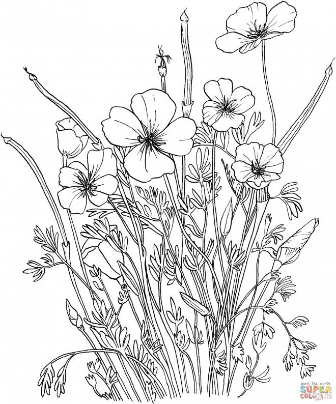 Coloriage Coquelicot pour enfants dessin gratuit à imprimer