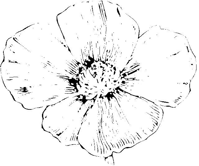 Coloriage et dessins gratuits Fleur Coquelicot en couleur à imprimer