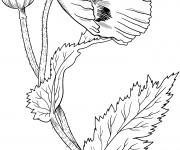 Coloriage Fleur Coquelicot fermée