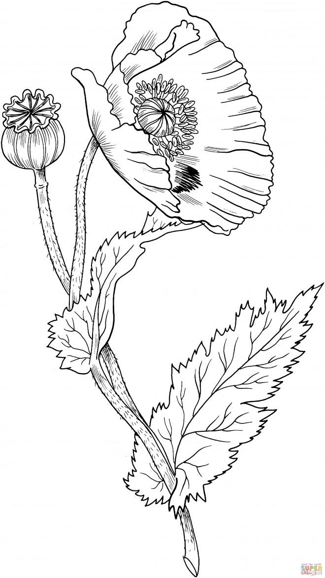 Coloriage et dessins gratuits Fleur Coquelicot fermée à imprimer