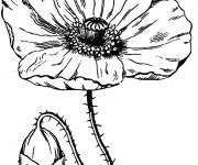 Coloriage Fleur de Coquelicot ouverte