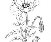 Coloriage et dessins gratuit Plante de Coquelicot à imprimer