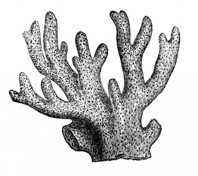Coloriage Corail réaliste dessin gratuit à imprimer