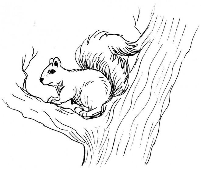 Coloriage et dessins gratuits Ecureuil 29 à imprimer