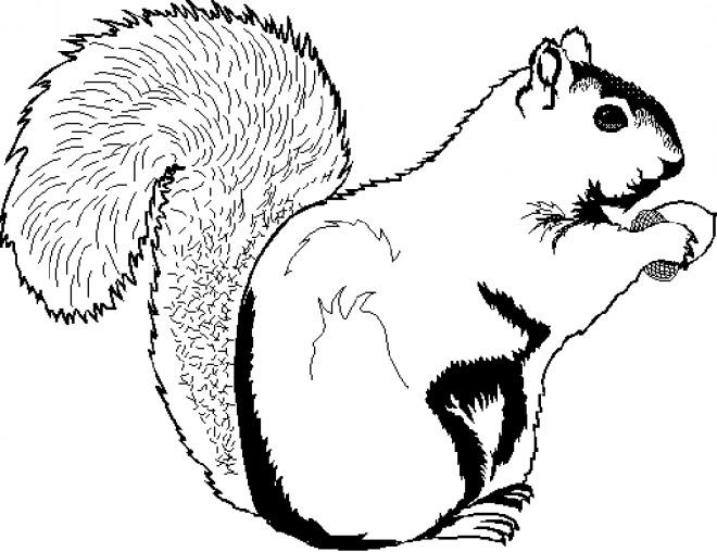 Coloriage et dessins gratuits Ecureuil 7 à imprimer