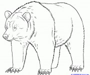 Coloriage dessin  Grizzly 2