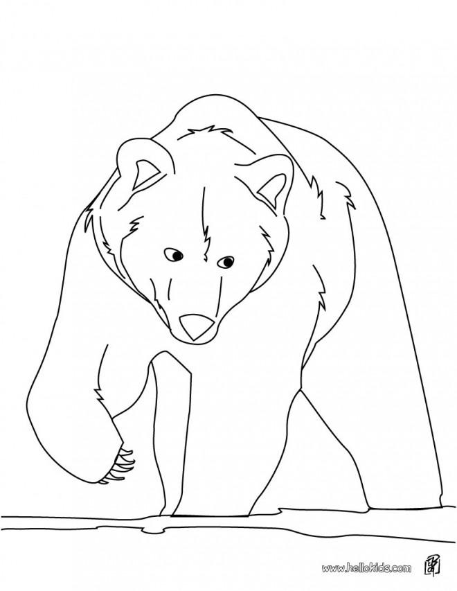 Coloriage et dessins gratuits Grizzly qui marche à imprimer