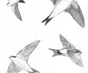 Coloriage et dessins gratuit Hirondelle au crayon à imprimer