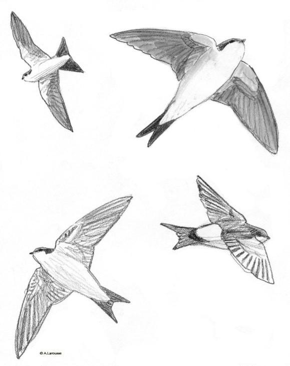 Coloriage et dessins gratuits Hirondelle au crayon à imprimer