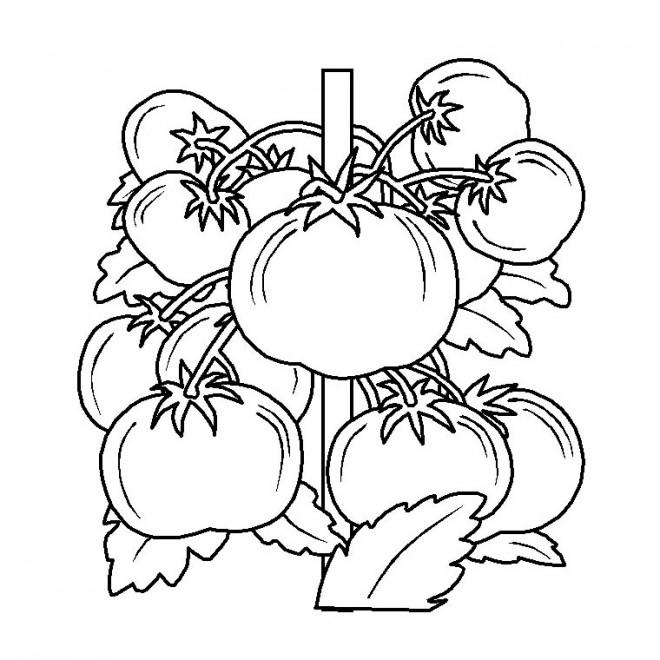 Coloriage et dessins gratuits Plante de Tomate à imprimer