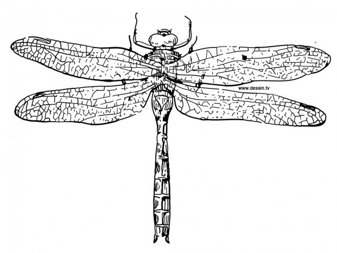 Coloriage libellule 27 dessin gratuit imprimer - Photo de libellule a imprimer ...