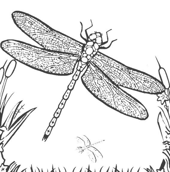 Coloriage libellule 4 dessin gratuit imprimer - Libellule dessin ...