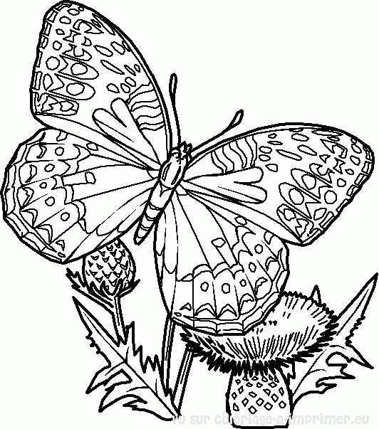 Coloriage magnifique papillon en couleur dessin gratuit imprimer - Coloriage magnifique ...