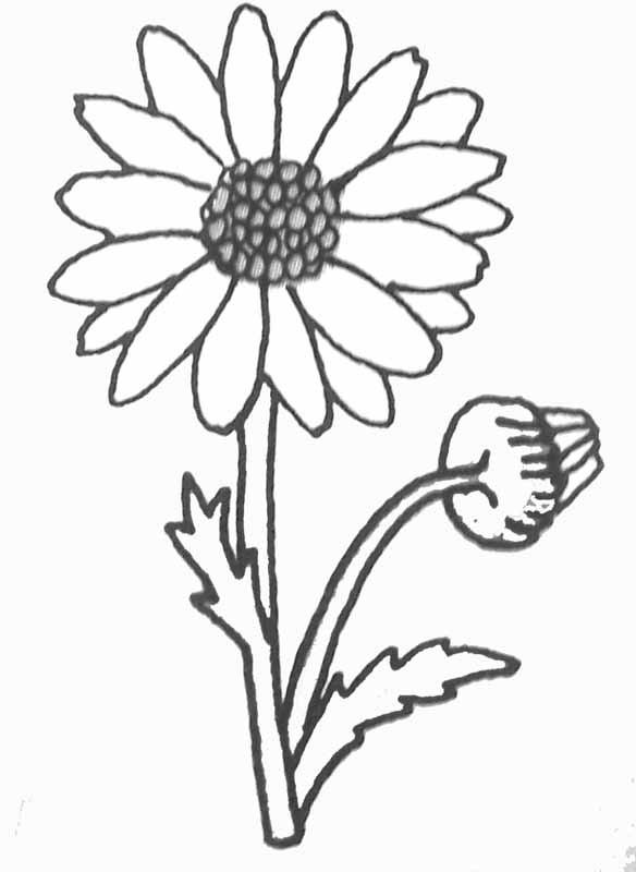 Coloriage et dessins gratuits Marguerite au crayon à imprimer