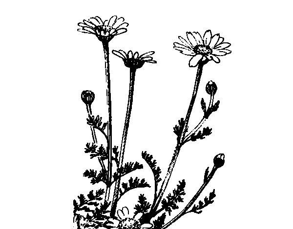 Coloriage et dessins gratuits Marguerite dessin noir à imprimer