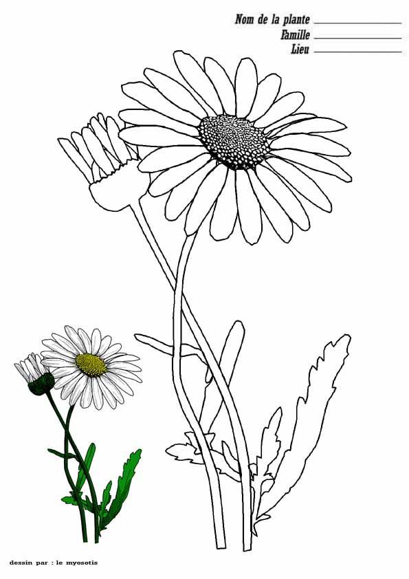Coloriage Fleur Myosotis.Coloriage Marguerite Fiche De Plante Dessin Gratuit A Imprimer